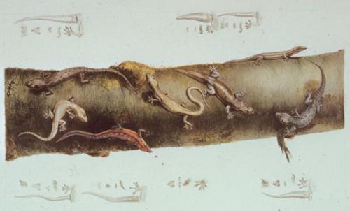 C.-A. Lesueur, Reptiles including geckos.