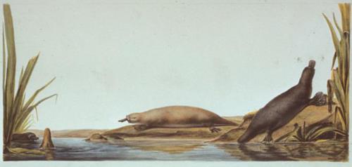 C.-A. Lesueur, Platypus (Ornithorhynchus anatinus).
