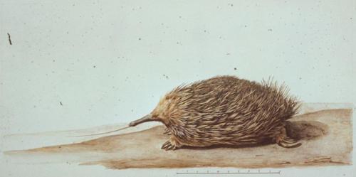 C.-A. Lesueur, Echidna (Tachyglossus aculeatus setosus).