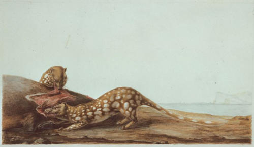 C.-A. Lesueur, Spotted-tail quoll (Dasyurus maculatus).