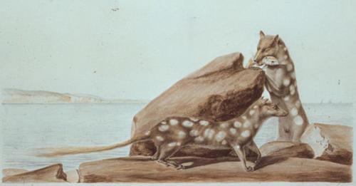 C.-A. Lesueur, Eastern quoll (Dasyurus viverrinus).