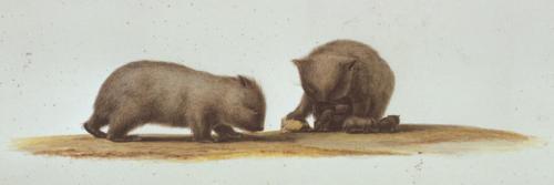 C.-A. Lesueur, Wombat (Vombatus ursinus)