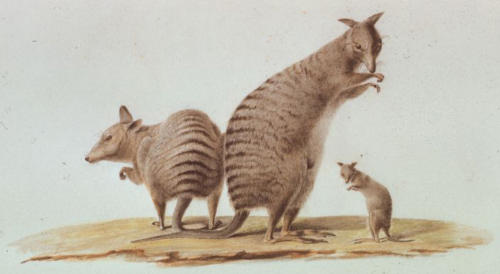 C.-A. Lesueur, Banded hare-wallaby (Lagostrophus fasciatus).