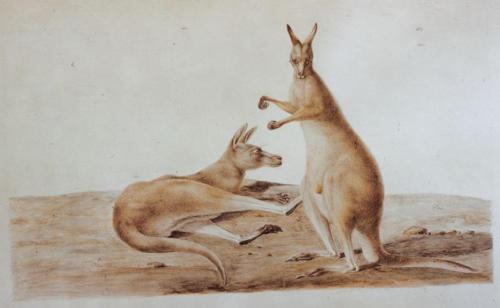 C.-A. Lesueur, Kangaroo (Macropus rufus).