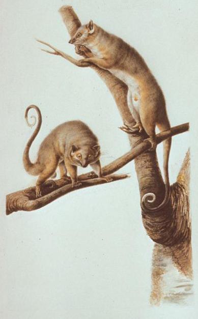 C.-A. Lesueur, Ring Tail Opossums (Trichosurus vulpecular).