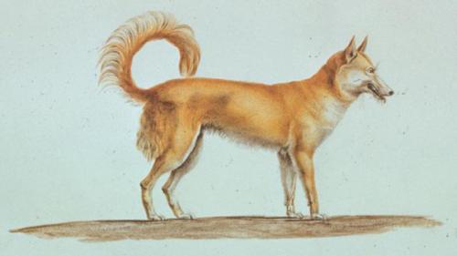 C.-A. Lesueur, Dingo (canis lupus dingo).