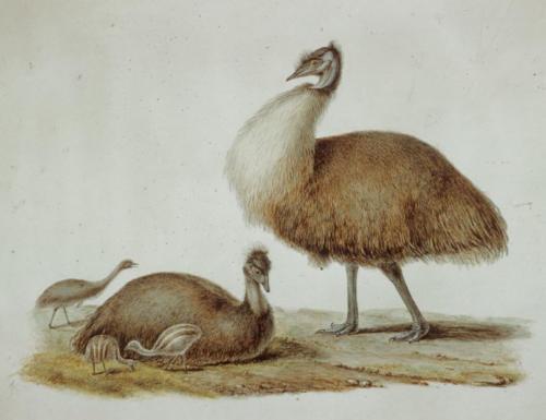 C.-A. Lesueur, Dwarf emu (Dromaius baudinianus)) lle Decrès (Kangaroo Island)